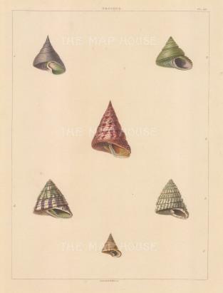 """Perry: Trochus shells. 1811. An original colour antique aquatint. 10"""" x 13"""". [NATHISp5619]"""