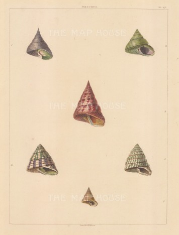 "Perry: Trochus shells. 1811. An original colour antique aquatint. 10"" x 13"". [NATHISp5619]"