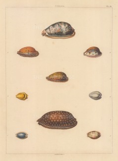 "Perry: Cypraea shells. 1811. An original colour antique aquatint. 9"" x 13"". [NATHISp6040]"