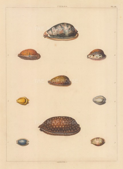 "Perry: Cypraea shells. 1811. An original colour antique aquatint. 9"" x 13"". [NATHISp6040]"