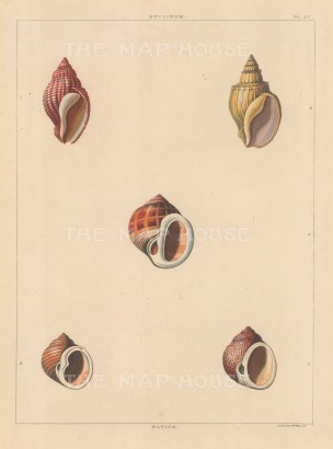 "Perry: Buccinum shells. 1811. An original colour antique aquatint. 9"" x 13"". [NATHISp6045]"