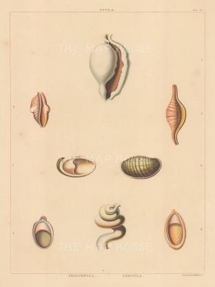 Ovula, Proscenula and Serpula shells.