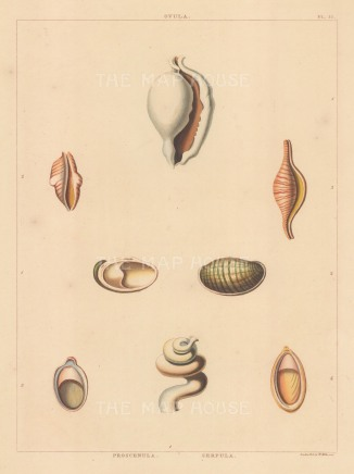 Ovula, Proscenula and Serpula shells.