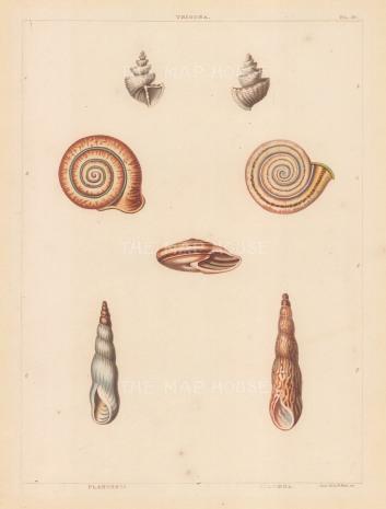 Trigona, Planorbis and Columna shells.