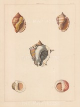 Univalves. Genus: Cassidea. Five types of ovate shaped shells.