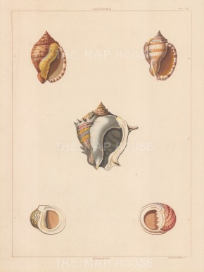 Univalves. Genus: Cassidea. Five types of ovate shaped shells.
