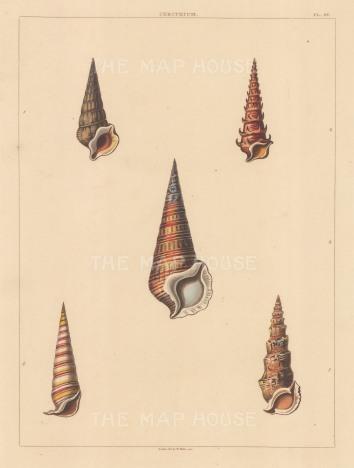 Univalves. Genus: Cerithium. Five types of long turreted shells.