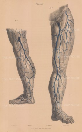 Legs:. Anterior and posterior view of venous system.