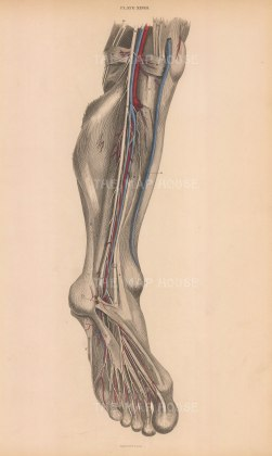 Calf, ankle and foot: Anterior view of arteries, veins, nerves and muscles. Plate XXVIII.