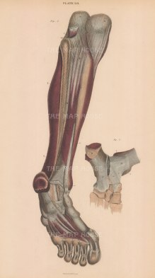Tibia, Fibula, foot and toes: Anterior view of muscles and ligaments with detail of ankle joint Plate LII.