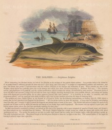 "SPCK: Dolphin. c1860. An original hand coloured antique wood engraving. 10"" x 11"". [NATHISp6606]"