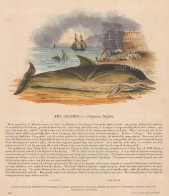 "SPCK: Dolphin. c1860. An original hand coloured antique wood engraving. 10"" x 11"". [NATHISp6606]"