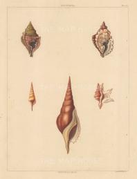 Univalves: Genus Distorta: 1. Distorta Acuta, 2. D. Rotunda. Genus Rostellaria: 1. Rostellaria Sinensis, 2. R. Pes-Pelicani, 3. R. Dentula.
