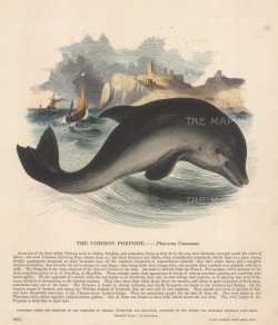 "SPCK: Porpoise. c1860. An original hand coloured antique wood engraving. 11"" x 13"". [NATHISp6903]"