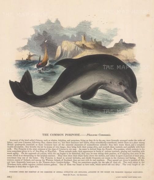 "SPCK: Porpoise. c1860. An original hand coloured antique wood engraving. 11"" x 13"". [NATHISp6903]"