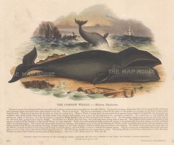 "SPCK: Whale. c1860. An original hand coloured antique wood engraving. 12"" x 10"". [NATHISp7151]"