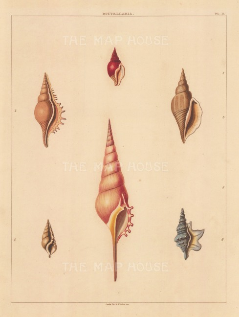 Univalves: Genus Rostellaria: 1. Rostellaria Rubicunda, 2. R. Serrata, 3. R. Sinuata, 4. R. Fissurella, 5. R. Ionica, 6. R. Ala-Draconis.