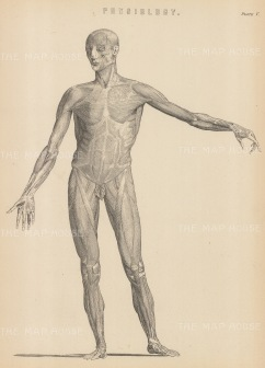Myology: Male Anterior musculature. With Key.