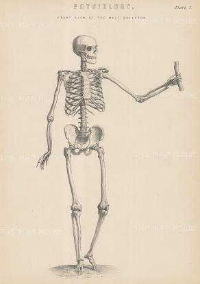 Skeleton: Male anterior skeleton. With Key.