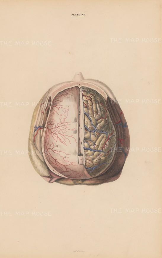 Brain: Hemispheres of the Cerebrum (A), Tentorium Cerebelli (D), Dura Mater (Y) and Sinus (X) Plate LVII