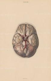 Brain: Cerebrum (a), Cerebellum (B), Pia Mater (E) Crurra Cerebi (G) and nerves and arteries. Plate LXIV