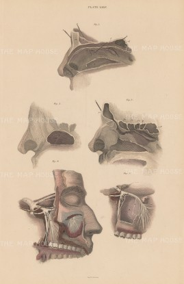 "Lizars: Nose. 1840. An original hand coloured antique mixed method engraving. 10"" x 17"". [NATHISp7592]"