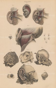 Ear: Muscles, cartilage and tubes. Eight diagrams. Plate LXXVII