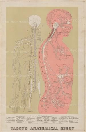 "Yaggy: Central Nervous System. 1886. An original antique chromolithograph. 13"" x 22"". [NATHISp7609]"