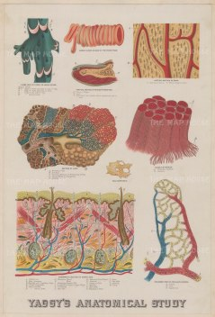 Epidermis, dermis and hypodermis: Educational study with further anatomical diagrams including the capillary system.