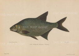 Bream (Abramas brama): After Reinhold Thiele.