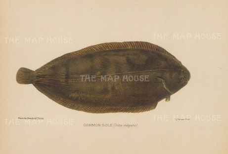 Common Sole (Solea vulgaris): After Reinhold Thiele.