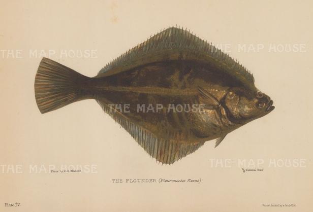 Flounder (Pleuronectes flesus): After J. W. Zaehnsdorf.