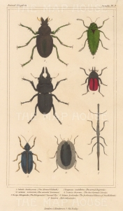 "Cuvier: Beetles. 1834. An original hand coloured antique stipple engraving. 4"" x 7"". [NATHISp7690]"