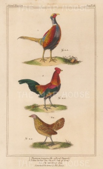 Collared Phesant, Java Cockrel and hen.