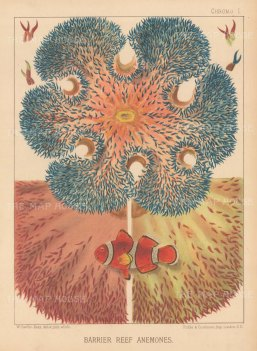 Giant Anemone with tentacles, segments of discs and an Amphiprion bicintus (Red Sea clown fish).Crustaceans: Xiphus Margaritifere, Eurypide Tuberculeux, Pelee Arme. From the voyage of La Bonite 1836-7.