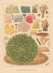 Great Barrier Reef Corals: 17 Corals. Key available.