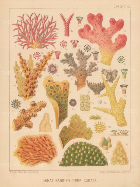 Great Barrier Reef Corals: 13 Corals. Key available.