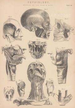 "Lizars: Myology. c1860. An original antique steel engraving. 5"" x 8"". [NATHISp7750]"