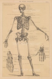 Skeleton: Anterior view. With details of hand and foot. With key.