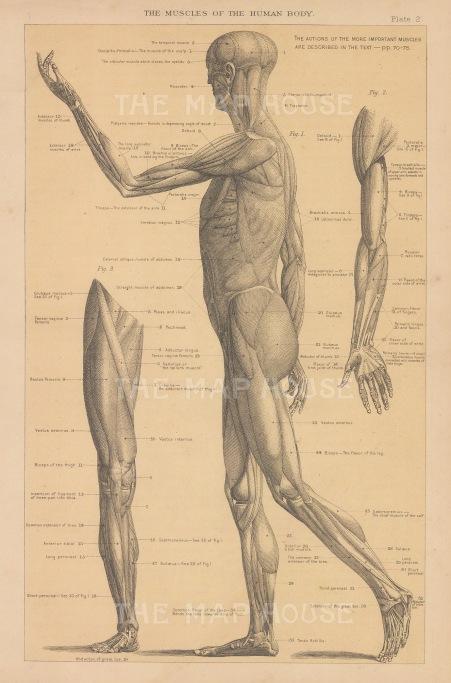 "Anonymous: Skeleton. c1880. An original antique steel engraving. 5"" x 8"". [NATHISp7754]"