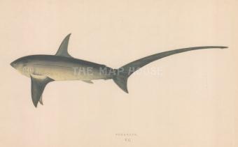 "Couch: Shark. 1878. An original antique chromolithograph. 9"" x 5"". [NATHISp7156]"