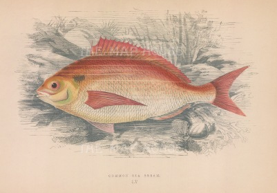 "Couch: Sea Bream. 1878. An original antique chromolithograph. 9"" x 5"". [NATHISp71598]"