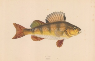 "Couch: Perch. 1878. An original antique chromolithograph. 9"" x 5"". [NATHISp7760]"