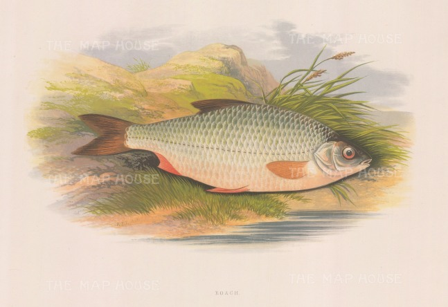"Houghton: Roach. 1879. An original antique chromolithograph. 12"" x 9"". [NATHISp2987]"