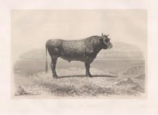 "Lemercier: Jersey Bull. c1850. An original antique lithograph. 15"" x 11"". [NATHISp3150]"