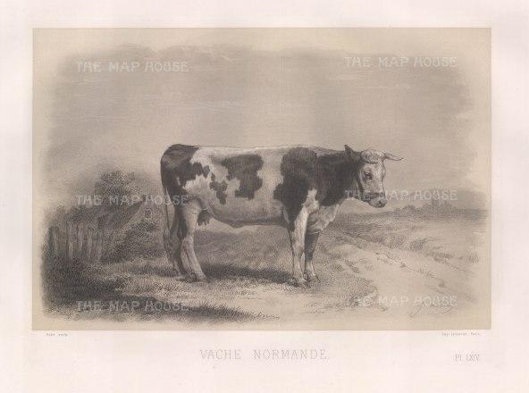"""Lemercier: Normandy Cow. c1850. An original antique lithograph. 15"""" x 11"""". [NATHISp3153]"""