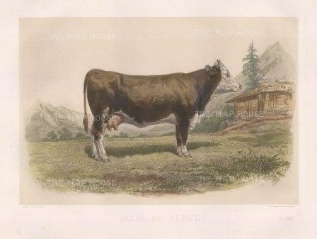 """Lemercier: Berne Cow. c1850. A hand coloured original antique lithograph. 15"""" x 11"""". [NATHISp3340]"""
