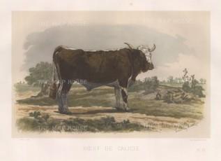 "Lemercier: Galicie Bull. c1850. A hand coloured original antique lithograph. 15"" x 11"". [NATHISp3342]"