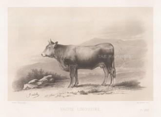 """Lemercier: Limousine Cow. c1850. An original antique lithograph. 15"""" x 11"""". [NATHISp5344]"""