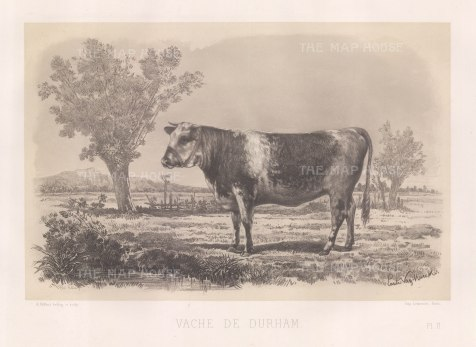"""Lemercier: Durham Cow. c1850. An original antique lithograph. 15"""" x 11"""". [NATHISp5349]"""